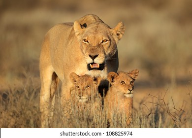 Lioness with young lion cubs (Panthera leo) in early morning light, Kalahari desert, South Africa