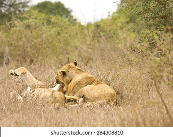 lioness and its young playing in the bush, Kruger, South Africa