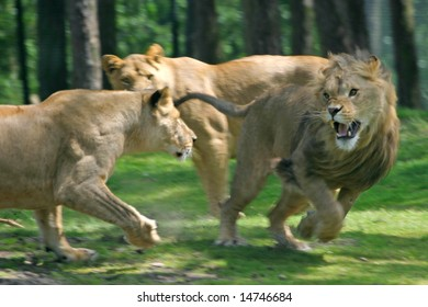 lionesses attacking big male lion