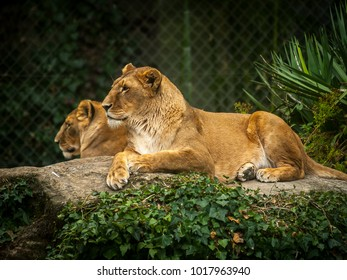 Lionesses in a quiet moment