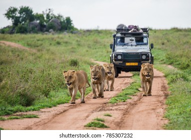 Lionesses walk along the road against the backdrop of a car with tourists. Africa.