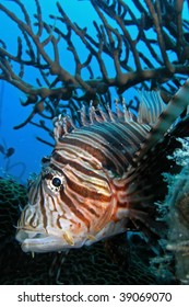 A Lionfish is any of several species of venomousmarine fish