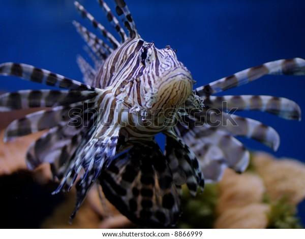 Lionfish in Aqaba Aquarium, Jordan.