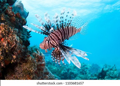 Lionfish in Bahamas