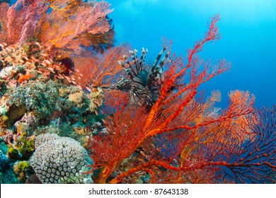 Lionfish and beautiful red fan coral
