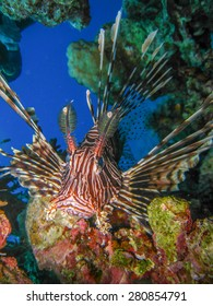 Lionfish close up in fron of coral reef