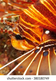Lionfish close up / Maldives