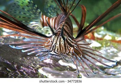 Lionfish close-up.