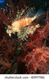 Lionfish with colorful soft corals in backgrond