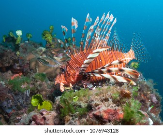 Lionfish at the coral reef