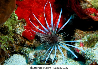 Lionfish in Cozumel