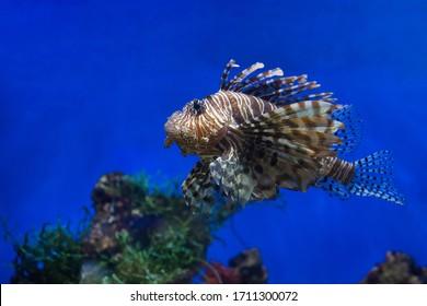 Lionfish (dendrochirus zebra), fish in an aquarium