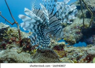 Lionfish displays full array of tentacles on coral reef in Belize
