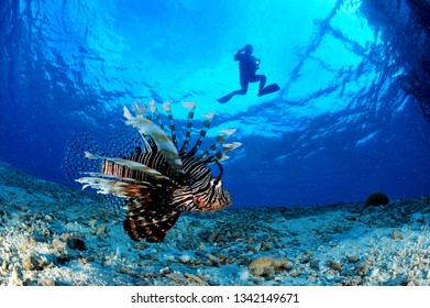 lionfish and diver