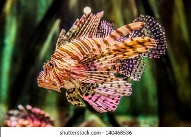 Lionfish in a Dubai aquarium. Pterois mombasae. Petrois Volitans. Lionfish. Turkeyfish. Scorpionfish. Firefish.