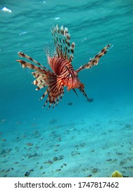 Lionfish Fish - type bone fish Osteichthyes. Scorpaenidae. Winged warrior. Fish zebra. Lionfish, Corphene, Lionfish Warrior, Zebra Fish,