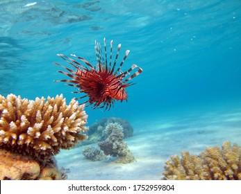 Lionfish Fish - type bone fish Osteichthyes. Scorpaenidae. Winged warrior. Fish zebra. Lionfish, Corphene, Lionfish Warrior, Zebra Fish.