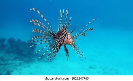 Lionfish. Fish - a type of bone fish Osteichthyes. Scorpaenidae. Lionfish warrior.