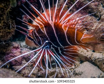 Lionfish hunt at coral reef