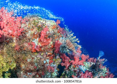 Lionfish hunting at dawn on a colorful tropical coral reef