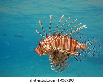 Lionfish hunting just below the surface
