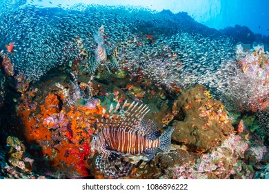 Lionfish hunting on a colorful tropical coral reef