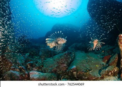 Lionfish hunting on a tropical coral reef