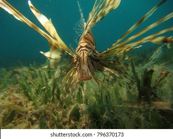 Lionfish hunting over the seagrass