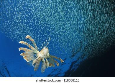 Lionfish hunting shoal of silversides fish fry