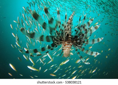 Lionfish hunting snapper fish
