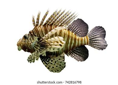 lionfish isolated on white background