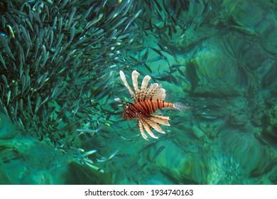 Lionfish (Latin - Pterois volitans) hunts for small fish shoal