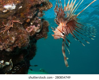 lionfish looking down