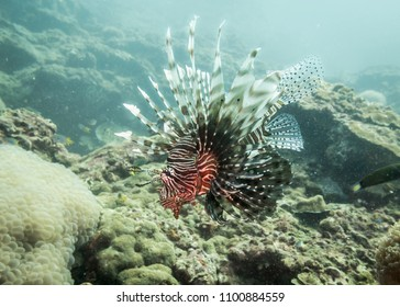 A lionfish looking for prey in the Andaman sea