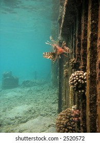 A lionfish near a submerged fence.
