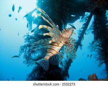 lionfish near a wreck