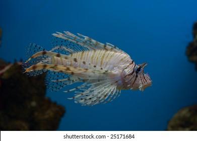 lionfish on blue background (close-up photo)
