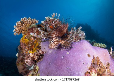 Lionfish on some colorful reef