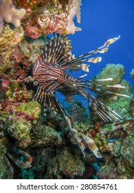 Lionfish over coral reef