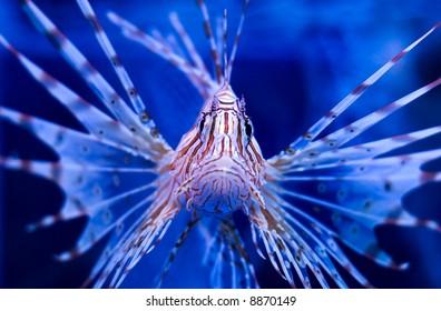 Lion-fish portrait