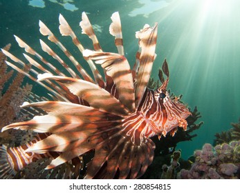 Lionfish profile with sun beams