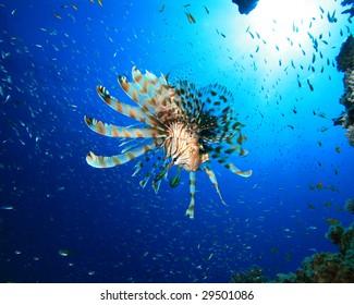 Lionfish (Pterois miles) hunts Glassfish
