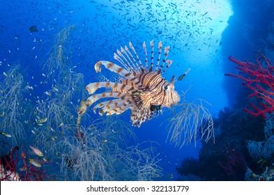 A lionfish, Pterois volitans, hunts baitfish near a black coral bush, Antipathes sp., Raja Ampat, West Papua province, Indonesia, Pacific Ocean