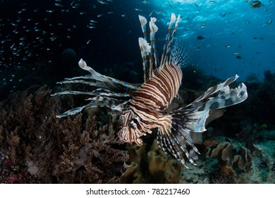 A Lionfish (Pterois volitans) hunts for prey on a healthy coral reef in Raja Ampat, Indonesia.