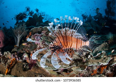 A Lionfish, Pterois volitans, hunts small fish on a beautiful coral reef in Raja Ampat. This tropical region is known as the heart of the Coral Triangle due to its marine biodiversity.