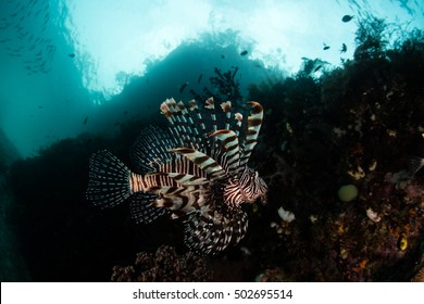 A lionfish (Pterois volitans) swims along a reef drop off in Raja Ampat, Indonesia. Lionfish are common predators of small reef fish and invertebrates throughout the tropical Pacific.