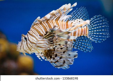 Lionfish Pterois volitans venomous tropical fish closeup