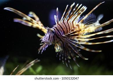 Lionfish (Scorpaennidae, Turkeyfishes, Firefishes, Butterfly-cods) swimming in the dark background. Beautiful fish in aquarium tank.