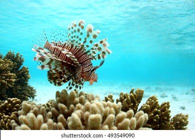 Lionfish or scorpions fish swimming near coral reef in clear tropical waters in front of Mataking island, Malaysia