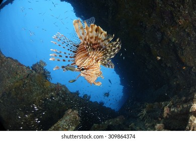 A lionfish in a shipwreck